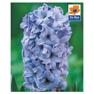 Bulbo Giacinto Delft Blue 1pz
