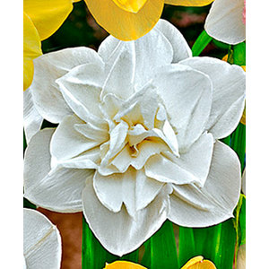 Bulbo Narciso Obdam 1pz