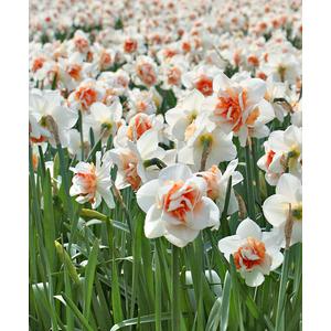 Bulbo Narciso Replete 1pz