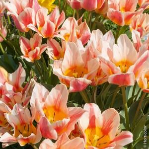 Bulbo tulipano Quebec 1pz.