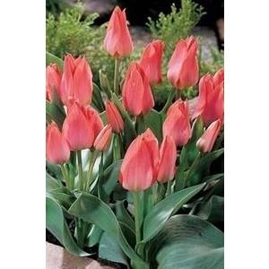 Bulbo tulipano Toronto 1 pz.