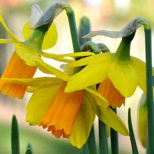 Bulbo Narciso botanico Jetfire 5pz.