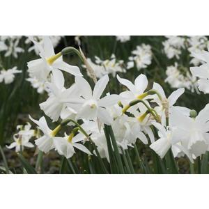 Bulbo narciso botanico Triandrus Thalia 5pz.