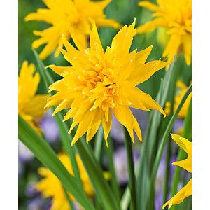 Bulbo narciso botanico Rip Van Winkle 10 pz.