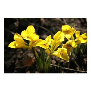 Bulbo iris Danfordiae 20pz.