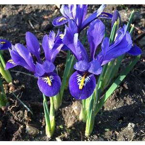 Bulbo Iris Reticulata 20pz.