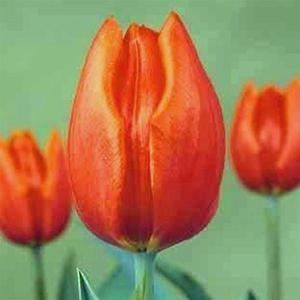 Bulbi Tulipano Orange Cassini - Tulipa