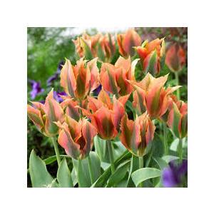 Bulbi Tulipano Viridiflora Green River - confezione da 10 bulbi