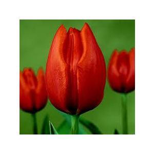Bulbi Tulipano  Cassini - Tulipa