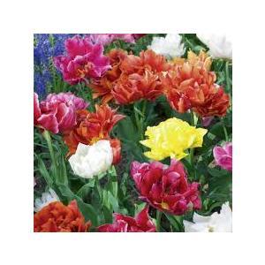 Bulbi Tulipano Doppio Precoce - confezione da 10 bulbi multicolore
