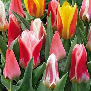Bulbi Tulipano Greigii Mix - confezione da 10 bulbi multicolore