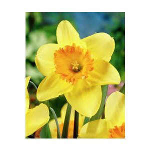 Bulbi Narciso Juanita - Narcissus