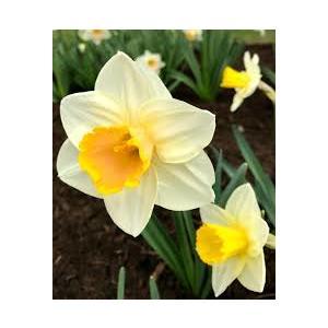 Bulbi Narciso Salome - Narcissus