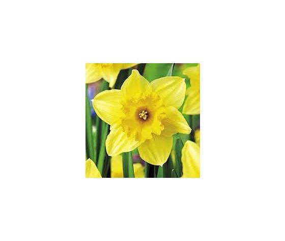 Bulbi Narciso Carlton - Narcissus