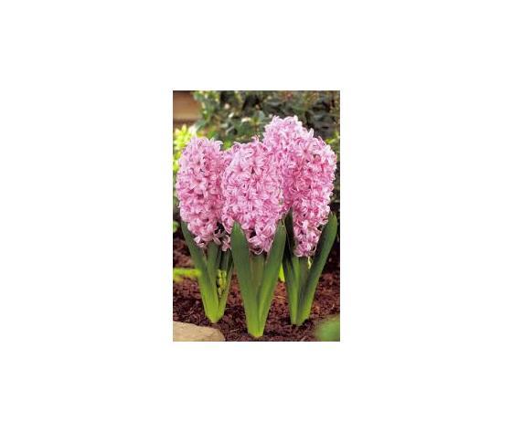 Bulbi Giacinto Pink Surprise- confezione da 4 bulbi rosa