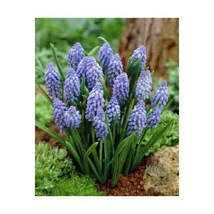 Bulbi Muscari Armeniacum Blu Jacket - confezione da 25 bulbi blu