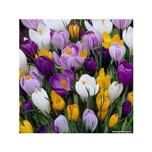 Bulbi Crocus Large Flower Mix- confezione da 10 bulbi mix colori