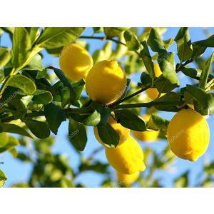 Limone 'Citrus Limon Florentina'