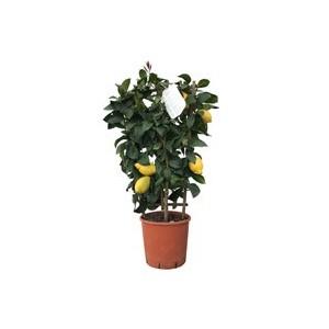 Limone 'Citrus Limon Florentina' a spalliera
