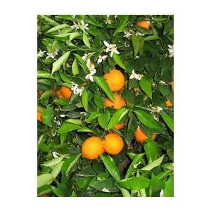 Citrus Sinensis - Arancio