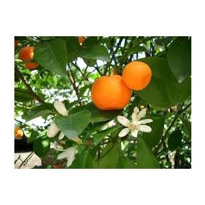 Citrus Deliciosa - Mandarino