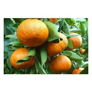 Citrus Clementina - Mandarancio