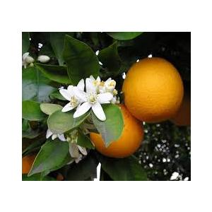 Citrus Auranrium - Arancio amaro