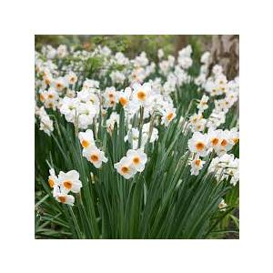 Bulbi Narciso Botanico Geranium - confezione da 6 bulbi bianchi profumati