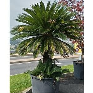 Esemplare Cycas Revoluta 270 cm