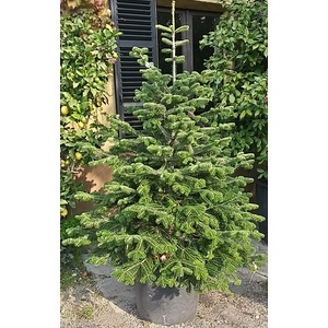 Abies Nordmanniana (albero di Natale)
