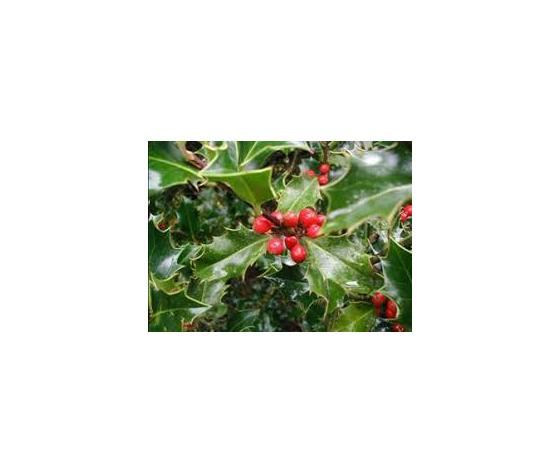 Ilex aquifolium verde bacche rosse vaso ø24