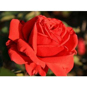 Rosa 'Baccara'® (Meger) - vaso ø22/24