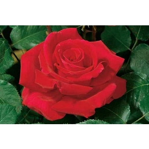 Rosa 'Victor Hugo'® (Meivestal) - vaso ø22/24