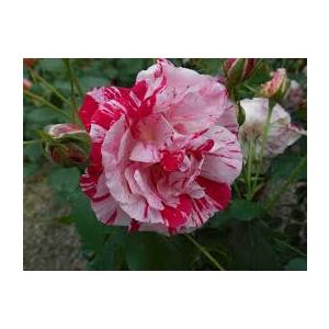 Rosa 'Scentimental'®  - vaso ø22/24