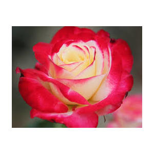 Rosa 'Double Delight'®  - vaso ø22/24