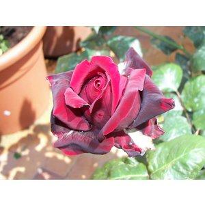 Rosa 'Magia Nera'® - vaso ø22/24