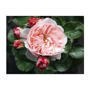 Rosa 'Bailando'®  - vaso ø22/24