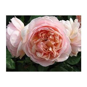 Rosa 'Andrè Le Notre'® (Miceppus)  - vaso ø22/24