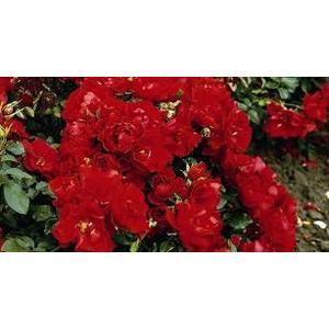 Rosa 'Red Mirato'®  - vaso ø22/24
