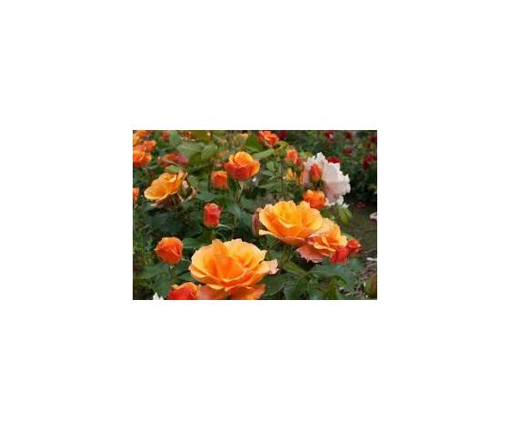 Rosa 'Tequila'® (Meipomolo) - vaso ø22/24