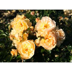 Rosa 'Gold Rush'® - vaso ø22/24