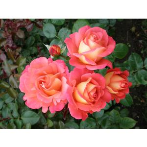 Rosa 'Shanty'®  - vaso ø22/24