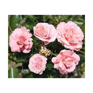 Rosa Botticelli'® (Meisylpho) - vaso ø22/24