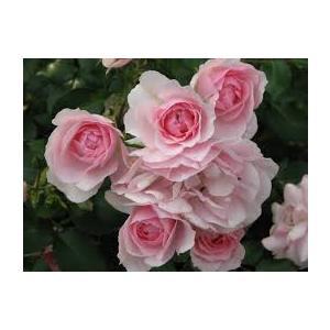 Rosa 'Bonica 82'® (Meidomonac) - vaso ø22/24