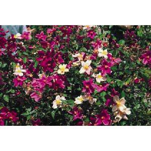 Rosa 'Chinensis Mutabilis'®  - vaso ø22/24