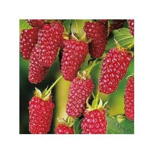 Rubus fruticosus 'Tayberry' (lampone americano)