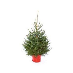 Picea abies(albero di natale) h. 100/125