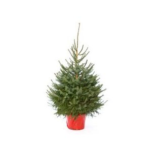 Picea abies(albero di natale) h. 150/175