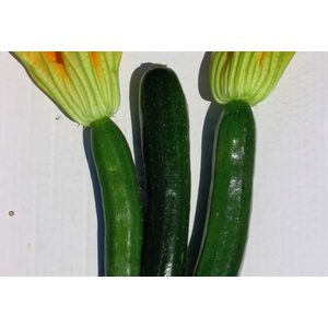 Zucchino Scuro pack da 4 piantine