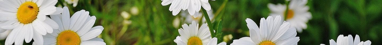 Daisy flower spring marguerite 67857